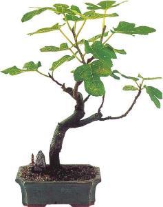 Дерево фиговое