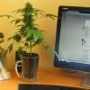 Ботаник вывел марихуану-бонсай в… пивной кружке